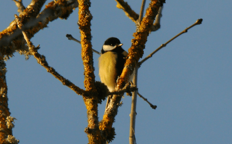 Camping le rêve - Great Tit